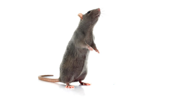Unwelcome Guests: Preventing Rodents from Moving In