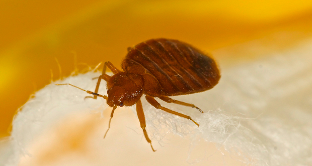 bed bug pests
