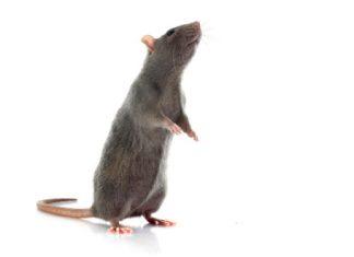 Rat, rodents - pest control