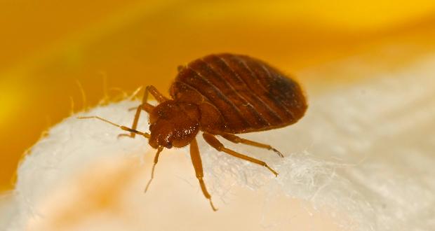 bed bug pests