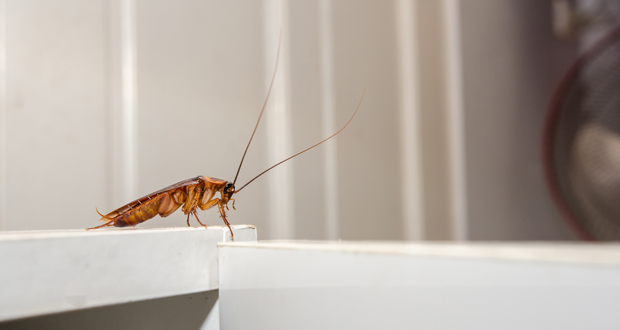 cockroach pests