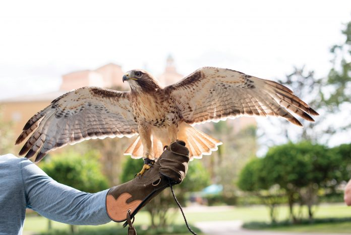 sport of falconry