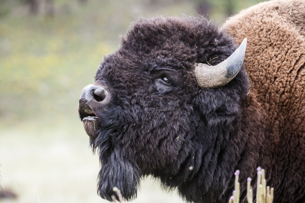 American Bison (Photos Courtesy of Sean Fitzgerald)