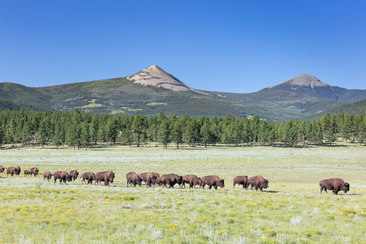 American bison herd walking in line across meadow beneath Ash Mountain, Vermejo Park Ranch, New Mexico (Photos Courtesy of Sean Fitzgerald)